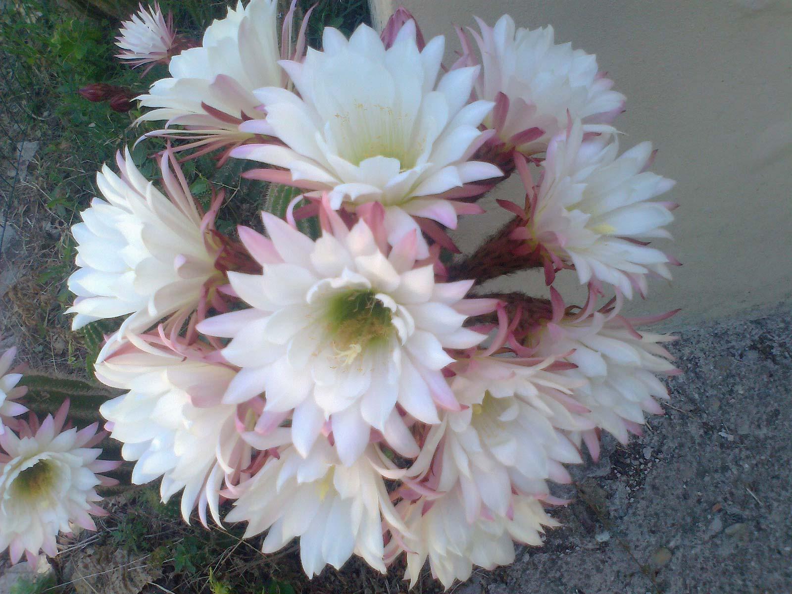 fiore-Abbadia-Ardenga1